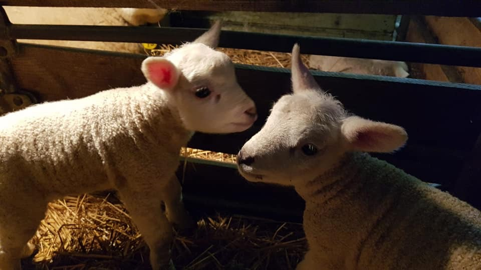 The first lambs are there!